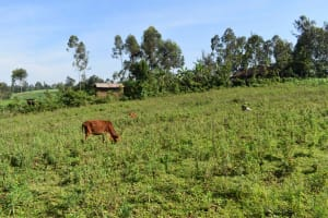 The Water Project: Emulele Community, Fanice Opati Spring -  Cow Grazing