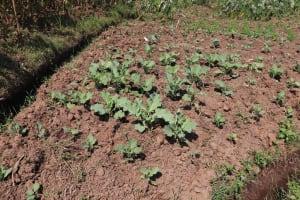 The Water Project: Emulele Community, Fanice Opati Spring -  Kale Garden