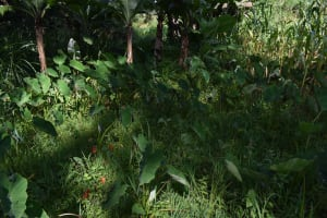 The Water Project: Isembe Community, Mangala Spring -  Arrowroot Farm