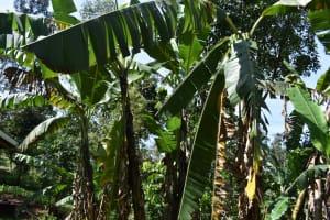 The Water Project: Isembe Community, Mangala Spring -  Banana Trees