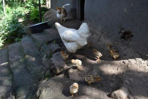 The Water Project: Isembe Community, Mangala Spring -  Chicken And Chicks