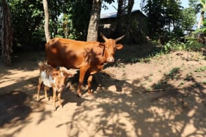 The Water Project: Isembe Community, Mangala Spring -  Cow And Calf