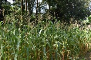 The Water Project: Isembe Community, Mangala Spring -  Maize Plantation