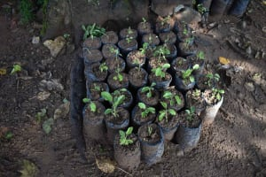 The Water Project: Isembe Community, Inyende Spring -  Tree Nursery