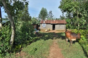 The Water Project: Isembe Community, Inyende Spring -  Cow Grazing