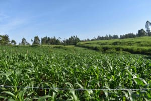 The Water Project: Isembe Community, Inyende Spring -  Maize Plantation