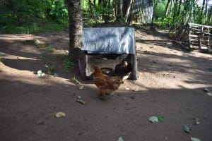The Water Project: Emaongoyo Community, Philip Mwando Spring -  Chicken Outside