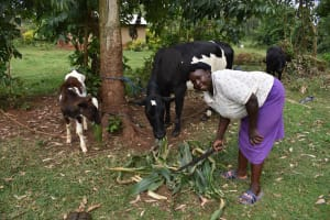 The Water Project: Lunyinya Community, Steven Shitundo Spring -  Feeding Cow