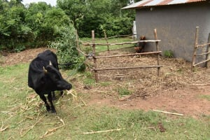 The Water Project: Lunyinya Community, Steven Shitundo Spring -  Cow And Pen