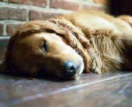 A lazy dog sleeping