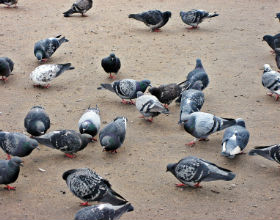 A number of pigeons