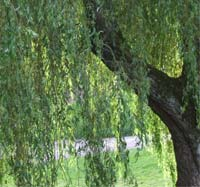 Neighbour conflict over a willow tree