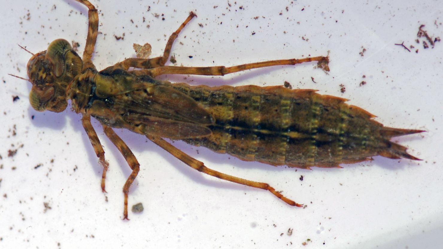 A dragonfly larvae specimen