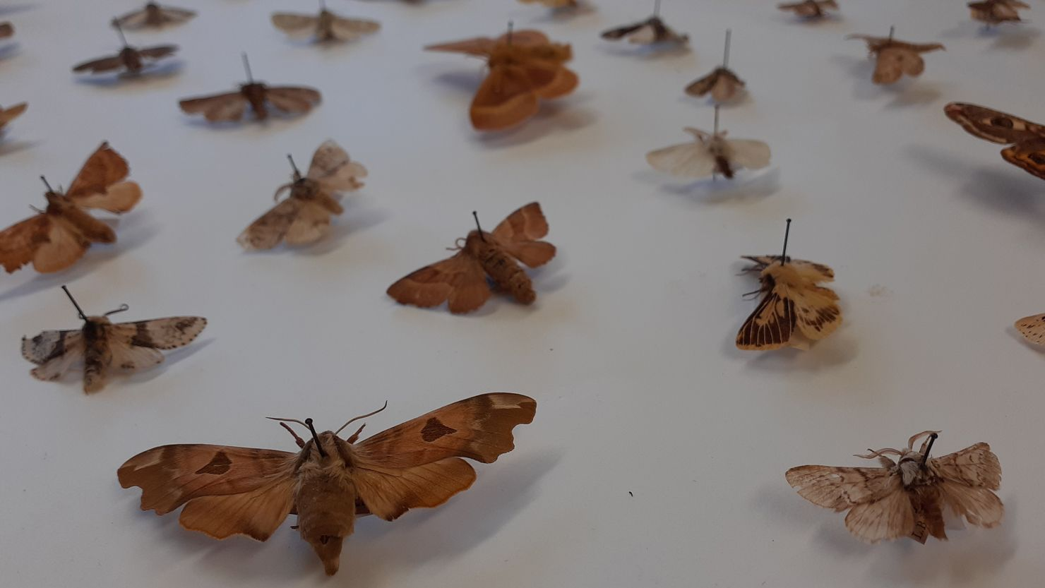 Pinned butterflies in a museum store