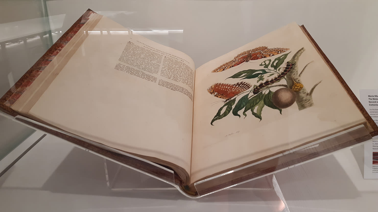 An illustration for 'Insects of Surinam' by Maria Sybilla Merian at The Box, Plymouth