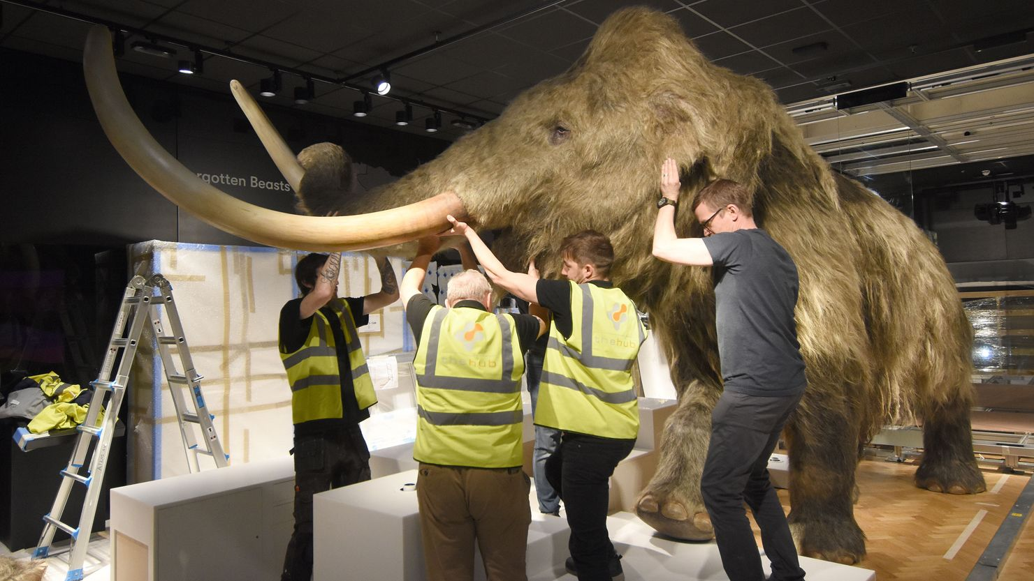 A replica woolly mammoth being moved into place by a team of people in a gallery