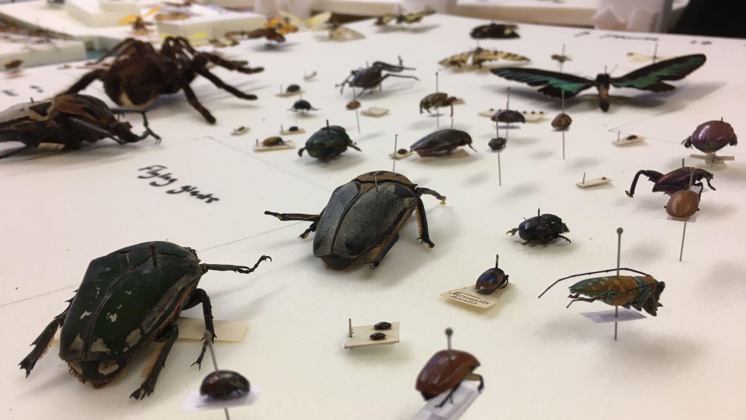 Pinned beetles from a natural history collection