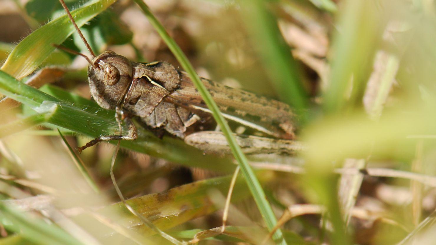 A grasshopper hidden in some grass
