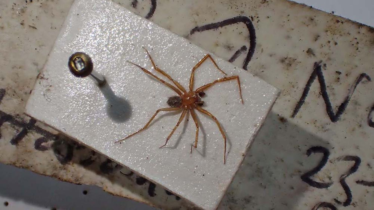 Photo of the rare Horrid Ground Weaver spider from The Box, Plymouth's collections