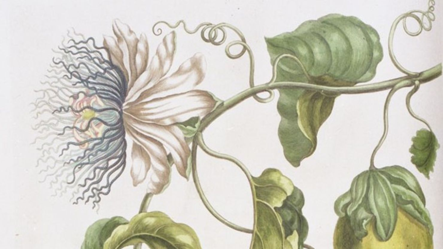 Plant illustration by Maria Sybilla Merian
