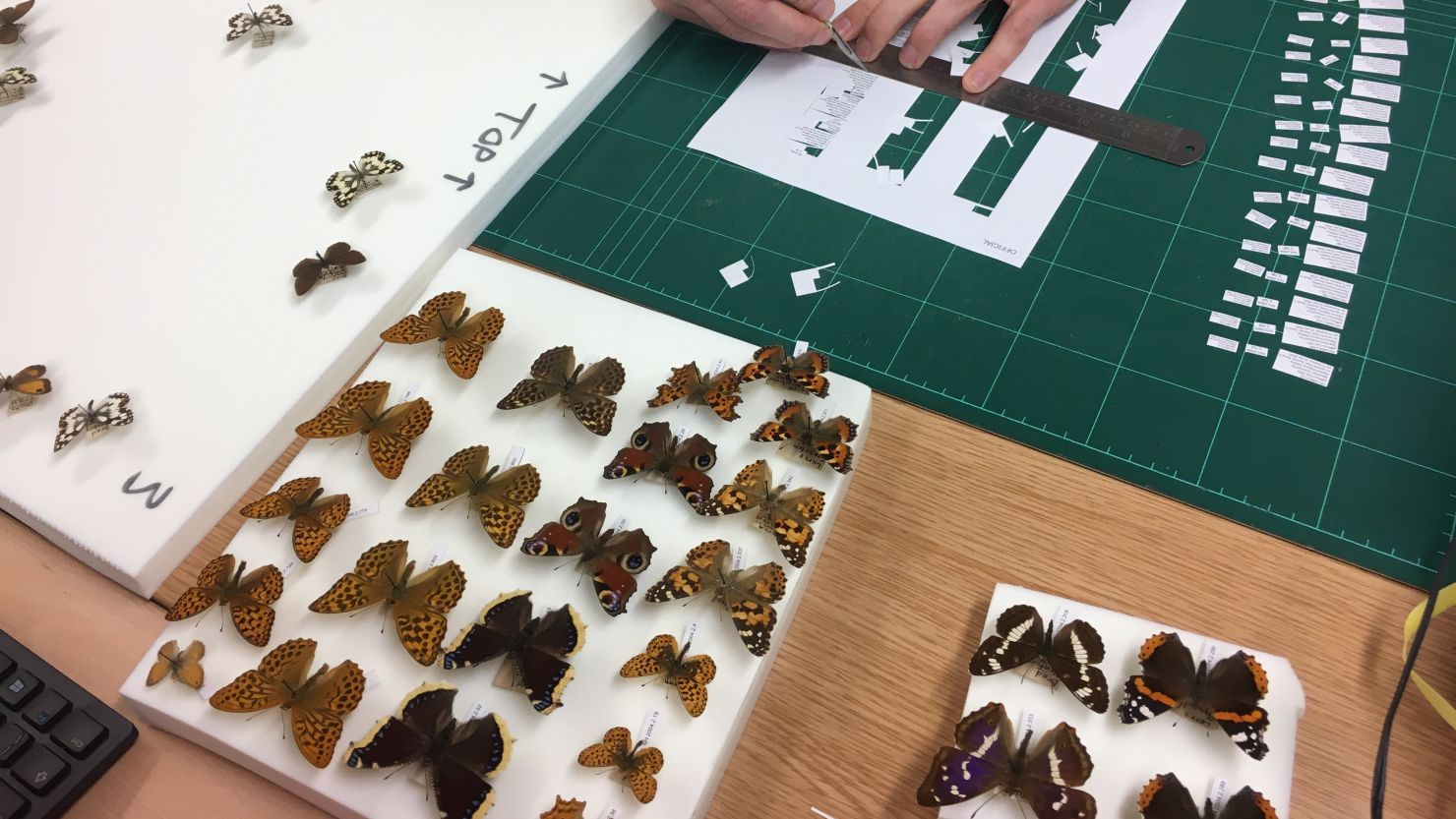 A person pinning butterflies from a natural history collection ready for display