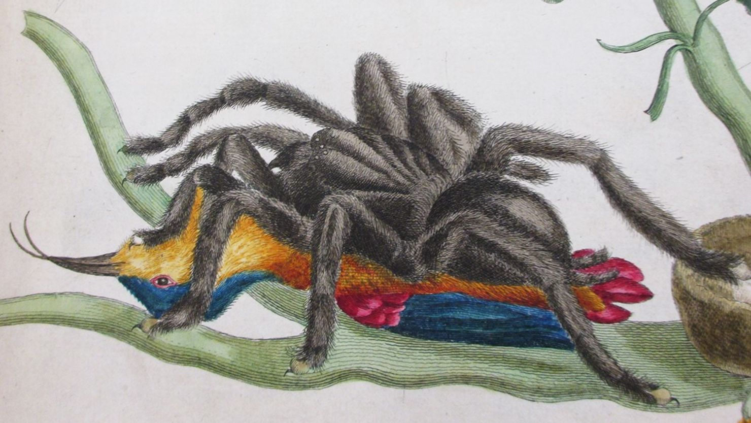 Illustration of bird eating spider by Maria Sybilla Merian