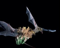 lesser long-nosed bat agave tequila