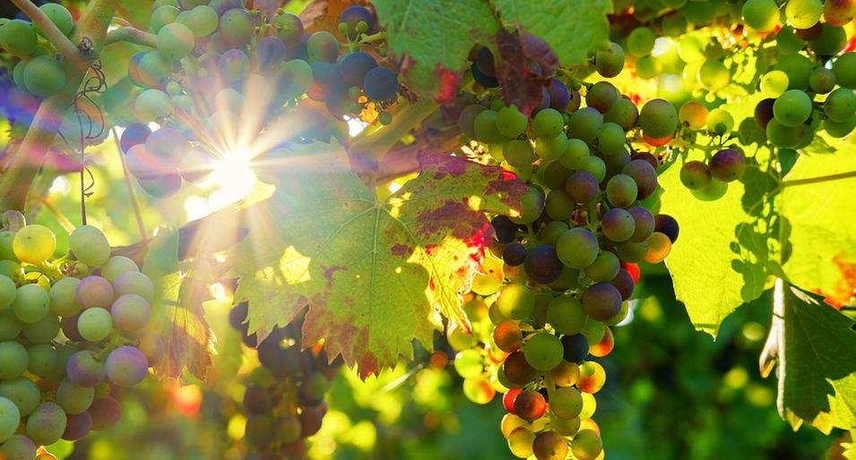 Ma vie de vigneronne, de vigne en cave