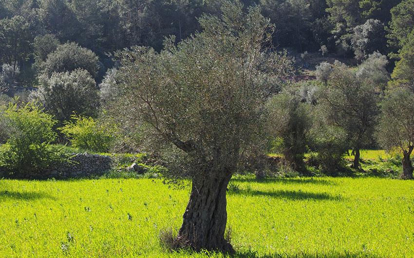 olive trees mallorca