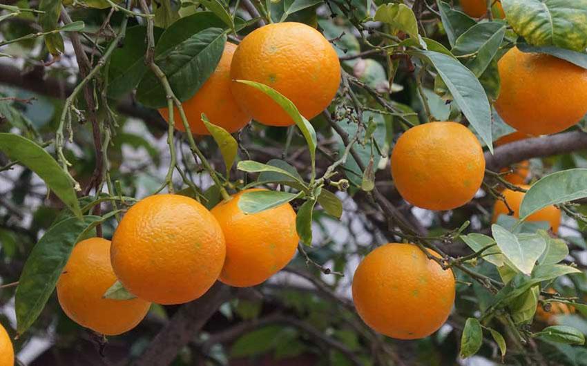 mallorca oranges