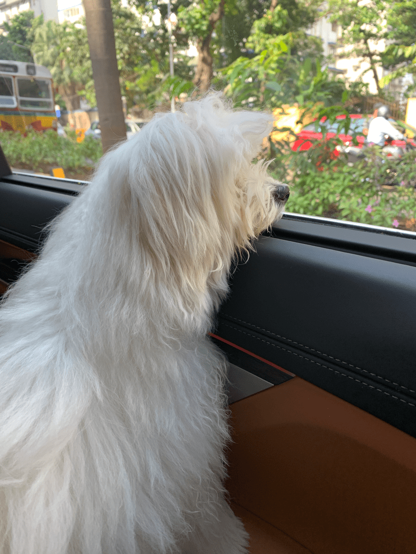Travelling By Car with your Dog