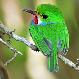 green cuban bird