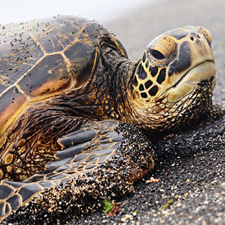 Turtle on Hawaiian Beach