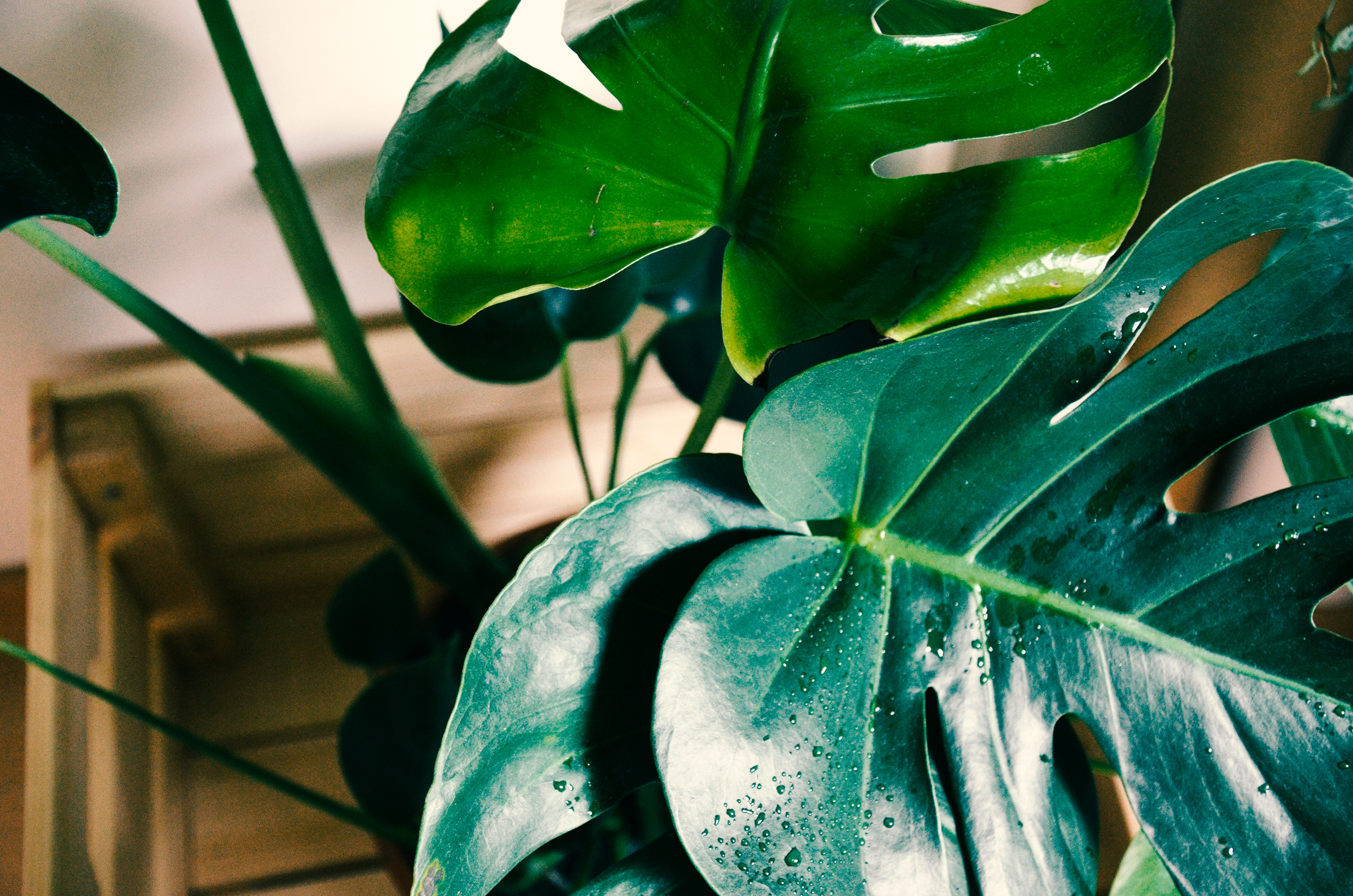 I love this Monstera