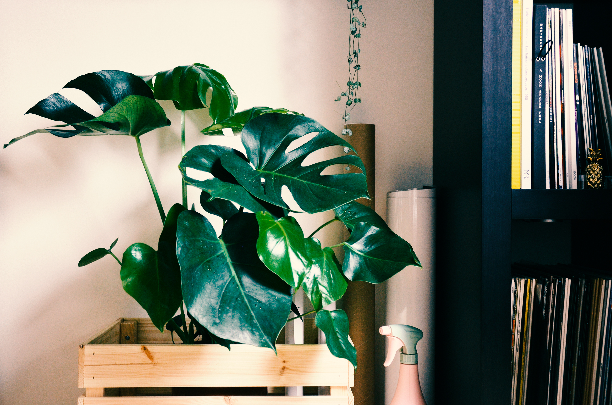 My much loved Monstera Deliciosa