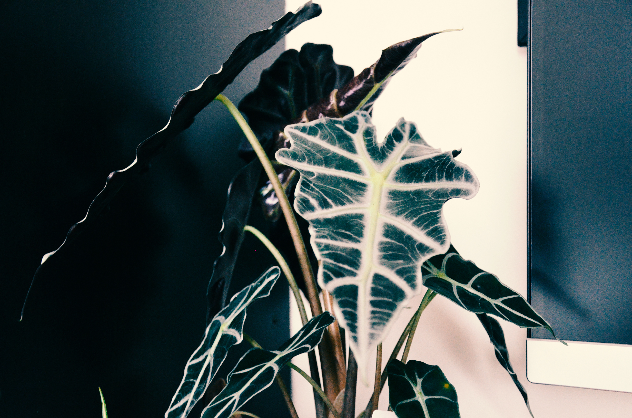 Calathea made room for this funky plant that looks like a sword