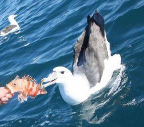 Albatross/Penguin Express