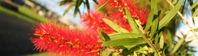 the-new-zealand-christmas-tree-the-pohutukawa-in summer