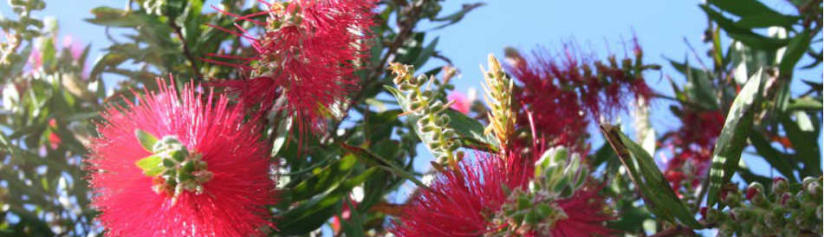 the-new-zealand-christmas-tree-the-pohutukawa-in summer-at-the-beach