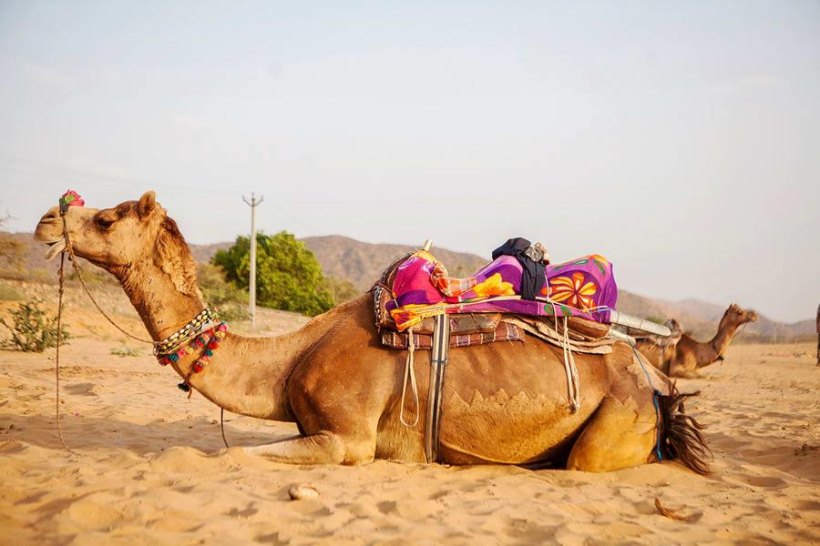 Pushkar Camel Safari Image
