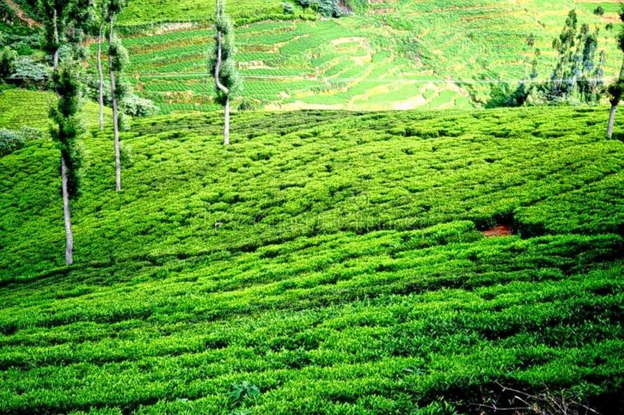 Ooty Tea Estate Tour Image
