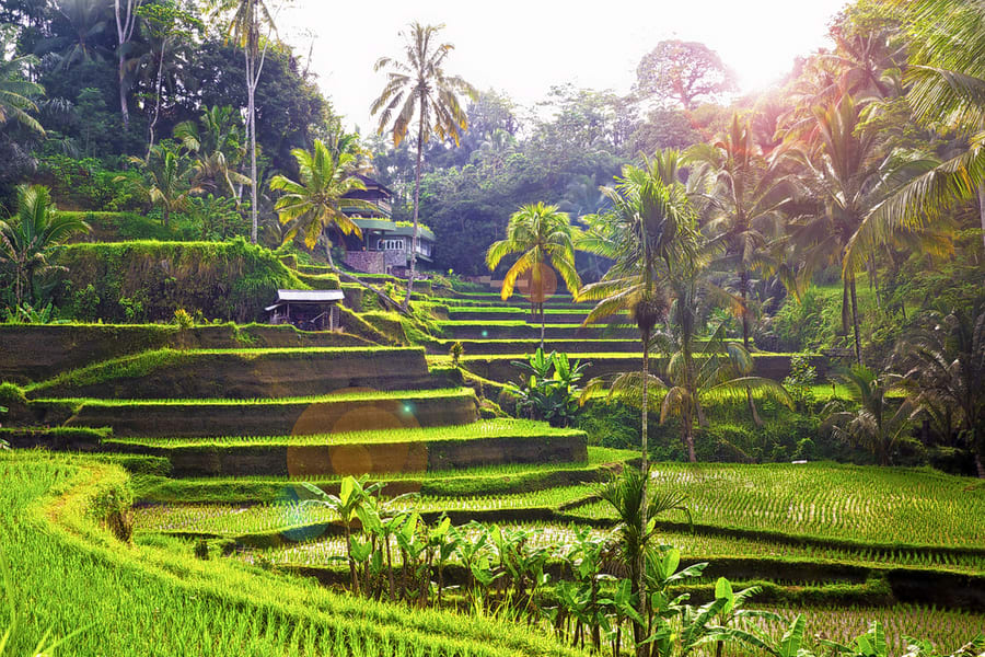 Tegalalang Rice Terrace Tour with Monkey Forest & Goa Gajah Image