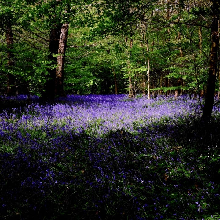 Bluebell covered forest floor