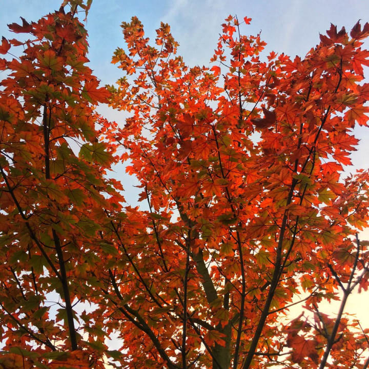 Bright red leaves on a tree