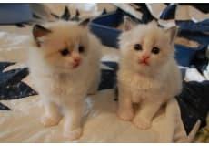 Ragdolls Katte til salg