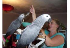 Afrikanske grå papegøjer