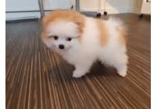Pomeranian hvalp til salg.