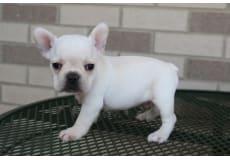 Mandlige Franske Bulldog.
