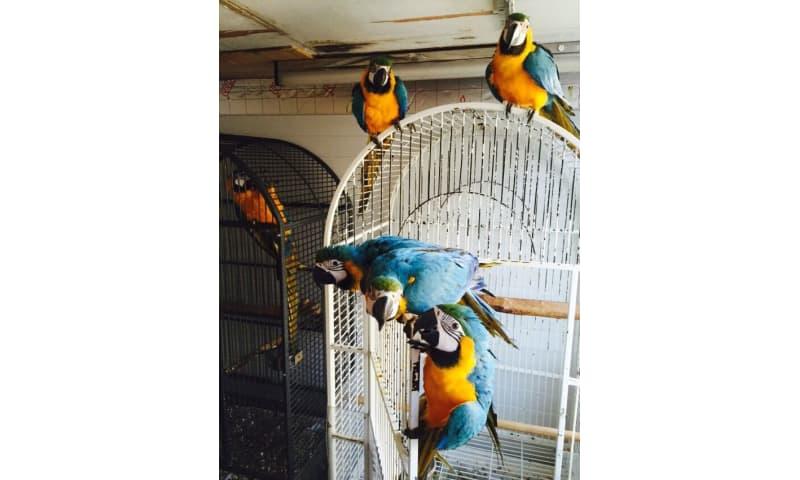 Talende blå og guld macaws papegøjer til salg