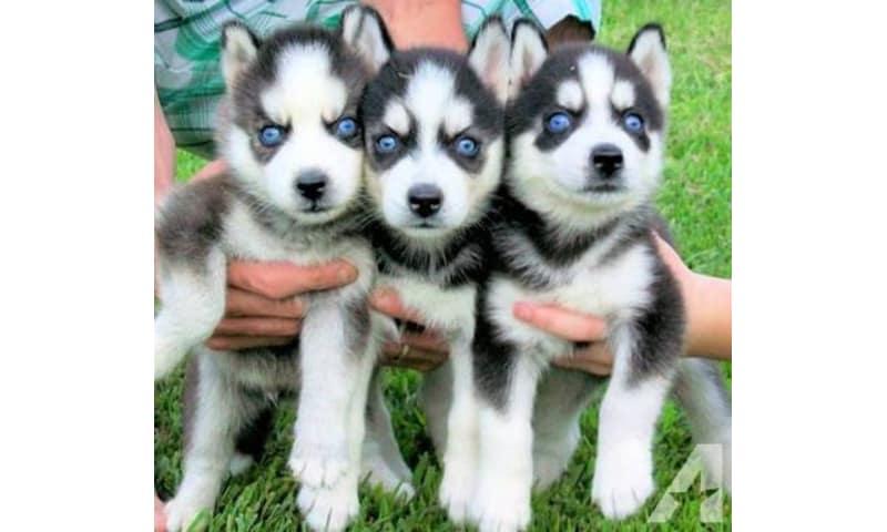 Sibiriske Husky hvalpe Blå øjne Klar til salg